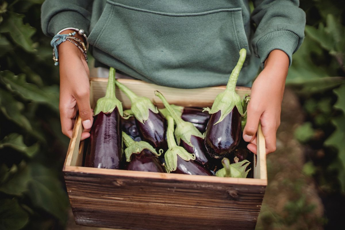 eggplant vegetable picking at robintide farms