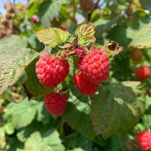 robintide farms raspberry picking