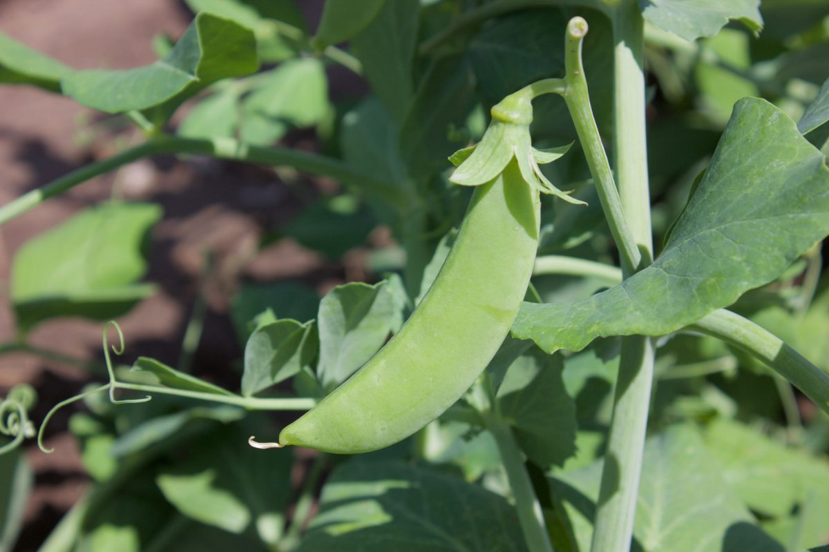 peas and pod vegetables at robintide
