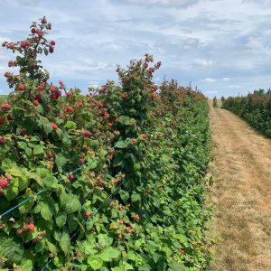 robintide farms raspberry field