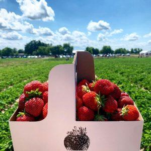 strawberry picking basket robintide farms