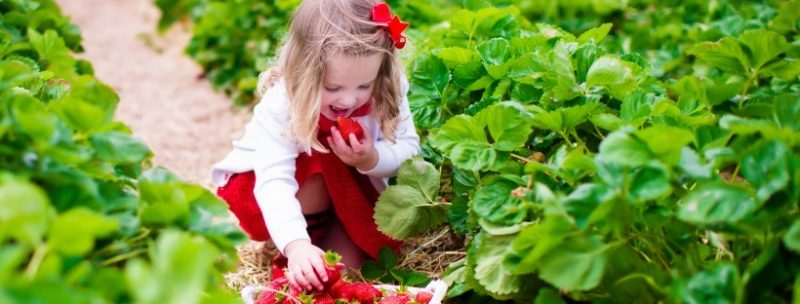 berry picking at robintide farms