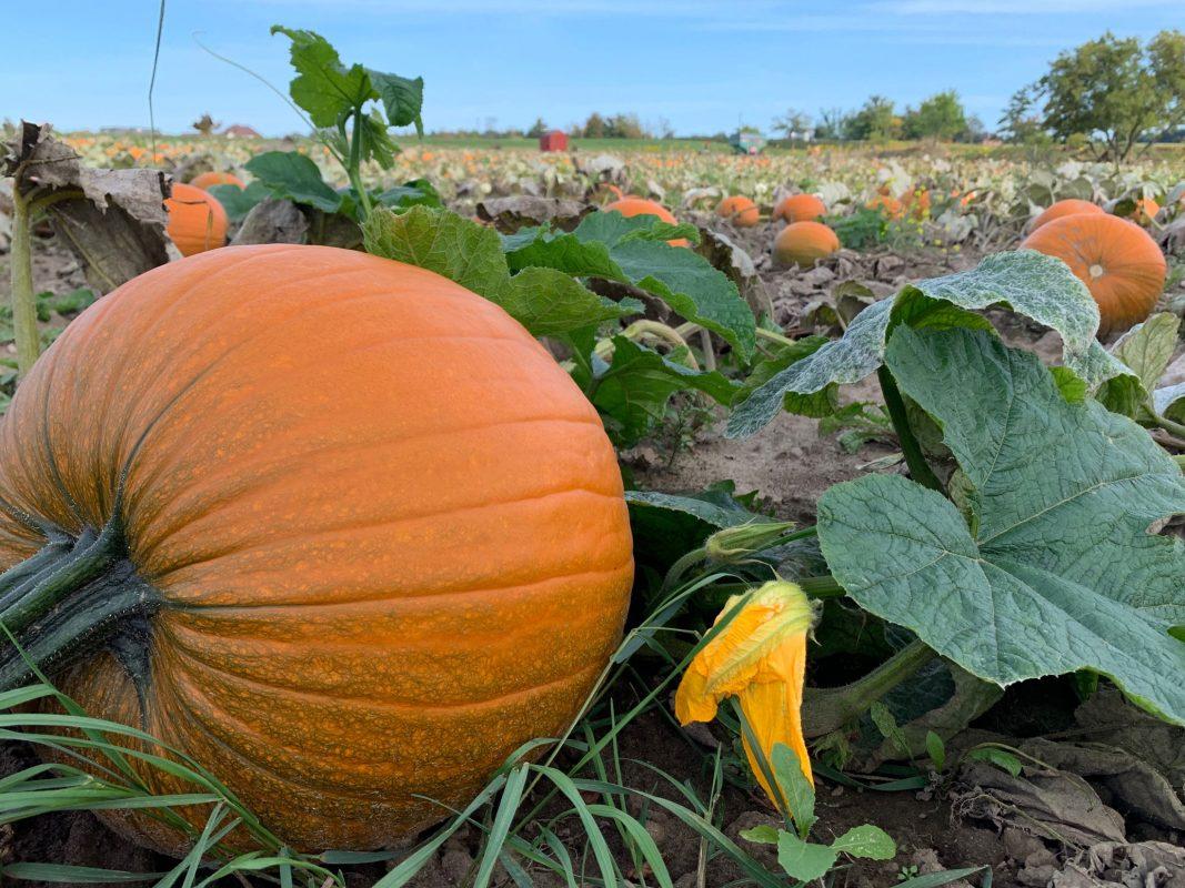 pumpkin and cornwalk at robintide farms