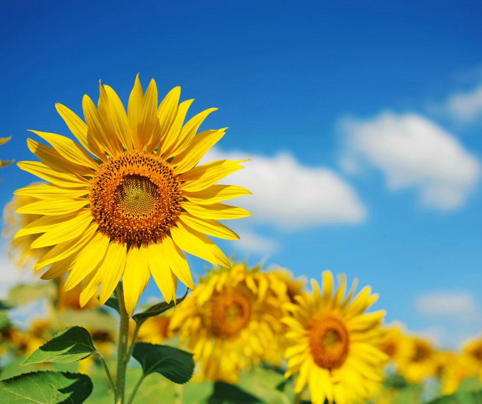 sunflowers at robintide farms
